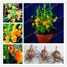 4 Bulbs - Lantern Lily Bulbs (Not Lily Seeds)