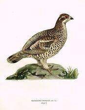 """Von Wright's Birds- """"TETRASTES BONASIA"""" - Chromolithograph -1917"""
