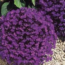 Lobelia Seeds Products For Sale Ebay