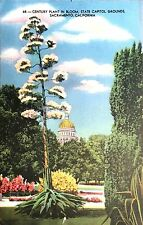 Vintage Postcard 68: Century Plant in Bloom, State Capitol Grounds Sacramento CA