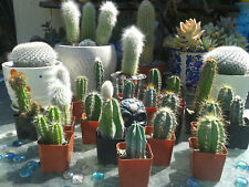 "Must Have Set of 4 mini Torches 3"" Mix Rooted Cactus"