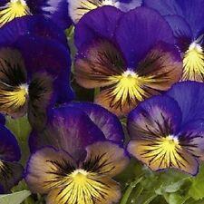 Pansy Karma Blue Butterfly 10 seeds  Garden Seeds 2u