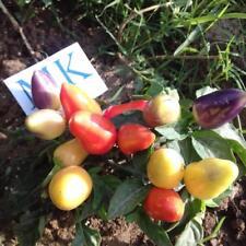Burke Backyard Thai Chilli,10 semillas,seeds,Capsicum annuum (262)
