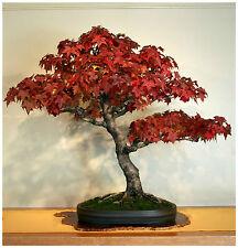 10 semi di Liquidambar styraciflua, storace americano ,semi bonsai