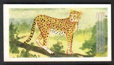 Cheetah India Large Feline Wild Cat 60+ Y/O Ad Trade Card
