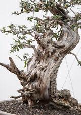 Wild Olive (Olea oleaster) 30 Fresh Seeds