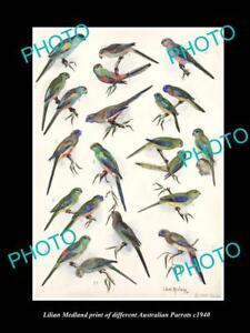 LILIAN MEDLAND VINTAGE PRINT OF AUSTRALIAN BIRDS 16x11 PARROT BREEDS