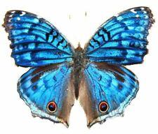 67) PAPILLON BLEU PRECIS JUNONIA RHADAMA MADAGASCAR ENTOMOLOGIE A1 ♂