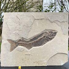 More details for fossilised notogonius fish eocene usa fsr302 ✔100% genuine ✔uk seller
