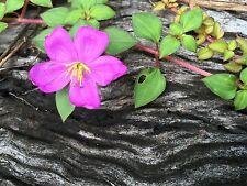 Hetrocenton - Goundcover & Hanging Basket - Lasiandra Tibouchina Tropical Plant