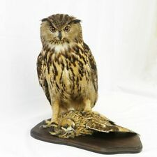 Professinal Bird Taxidermy European Eagle Owl with prey by Trophy Collection.