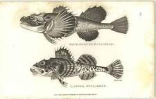 1803 ZOOLOGIA Shaw pesce il demone incarnato e quattro Horned Bullhead Incisione