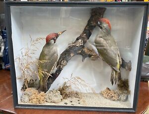 Antique Taxidermy Cased Green Woodpeckers Pre 1947