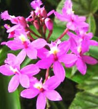 Lavender Crucifix Orchid Keikis . $12 for 3 plants (keiki) Free Postage