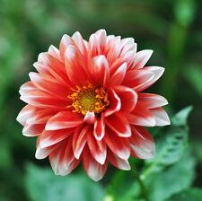 1 Pack 100 Colorful Dahlia Seeds Dahlia Pinnata Garden Flowers S045