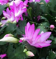 "Pink Christmas Cactus Plant Zygocactus 4"" Pot Live Houplant Garden Yard"