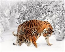 Gray Orange Black White Wall Decor Home Photo Art Tiger & Cub Photography Matted