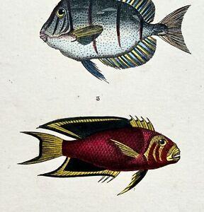 1840 Lacepede - Fish: Holacanthus - Fine original hand coloured engraving