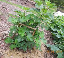 Ponte tresa fig tree -2 cuttings from rare fig tree