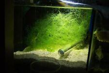 Chaetomorpha Chaeto Cheato Algae Marine Nitrate Reducer