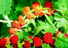 Seeds Strawberry Spinach Climbing Vegetable Annual Edible Flower Organic Ukraine