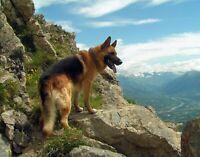 A German Shepherd dog on a mountain. Canvas Photo .  11x14 Print