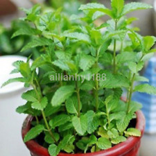 Hot 500 Pcs Spearmint Mint Mentha Herb Green Flower Seeds Garden Plant Decor US