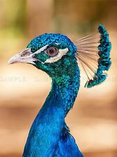 ANIMAL BIRD PEACOCK PLUME FEATHER BLUE COOL LARGE POSTER ART PRINT BB2942A