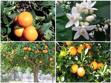 Cold-hardy Bitter orange / marmalade orange Tree (Citrus aurantium )  25+ seeds