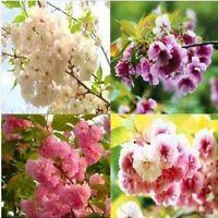 15 Semillas de Flor de Cerezo Mixto (Mixed Cherry Blossoms tree Seeds)