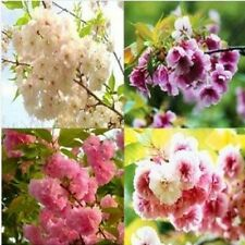 15 Semillas de Flor de Cerezo Mixto (Mixed Cherry Blossoms tree Seeds)