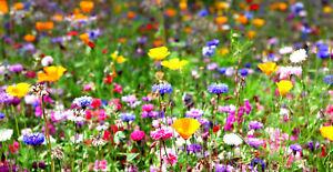 Bunte Blumenwiese Samen Schmetterlinge Sommer Bienenweide Mischung Wildblumen