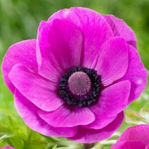 Anemone de Caen Rose Sylphide   Seeds 30 seeds