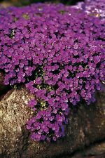 Flower - Aubrieta Hybrida - Cascade Purple  - 200 Seeds