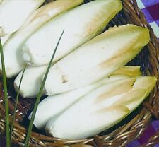 Chicory 'Brussels Witloof' Appx 3,000 seeds *FREE P&P*
