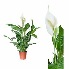 Spathiphyllum 60 cm Sheet A Retirement Journal House Plant Room Air Cleaning