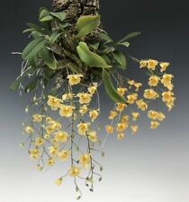Dendrobium aggregatum 'majus' Blooming size mounted Orchid species