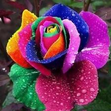 100 Seeds Rare Holland Rainbow Rose Flower Lover Multi-color Plant Home Garden#