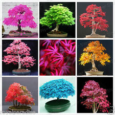 15 Seeds Mixed American Maple Bonsai Seeds Mixed Varieties Indoor Bonsai Seeds