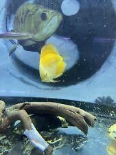 Yellow  Lemon Discus 4 Inch Tropical Live Fish