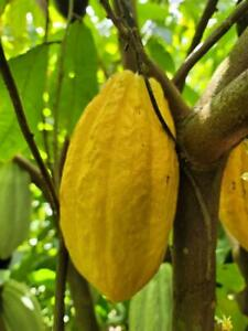 1 Fresh, Giant, Sustainably-Grown Cacao Pods Grown In Puerto Rico
