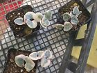 RARE Variegated String of Hearts | Ceropegia woodii Pot w/soil Succulent