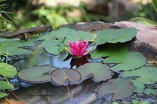 burgund-rote Seerose Kleinwüchsige Teichrose Schwimmpflanzen für den Gartenteich