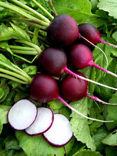 VEGETABLE  RADISH MALAGA PURPLE  11 GRAM ~ APPROX 935 FINEST SEEDS