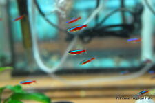 Cardinal Tetra, Paracheirodon axelrodi, Freshwater Community Tropical Fish