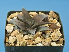 Aloe cv. 'Blue Boy' [B] Kelly Griffin hybrid Dwarf succulent RARE B83