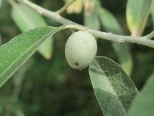 Olive russe (comestible) son angustifolia-une oliveraie.500 graines