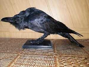 Stuffed raven Taxidermy