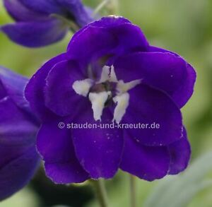 Halbhoher Rittersporn, dunkel-violett, weisse Biene (Delphinium MF Dunkelblau)
