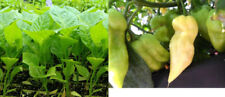 White Bhut Jolokia, Ghost Chilli Plant -former World's Hottest Chilli Variety!!